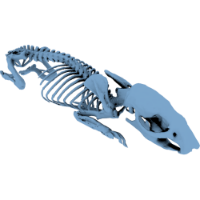 3D model of a rat rat skeleton